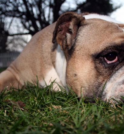 Bulldog Laying Around