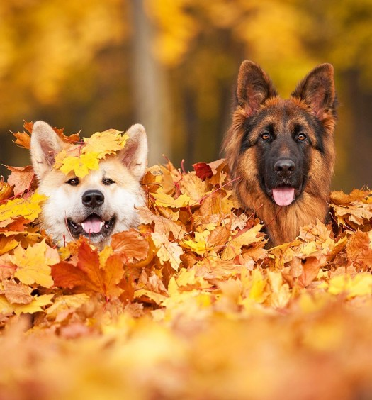 Dogs Hiding in Pile of Leaves