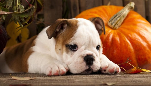 Dog Nutrition: Is Pumpkin Good for Your Dog?