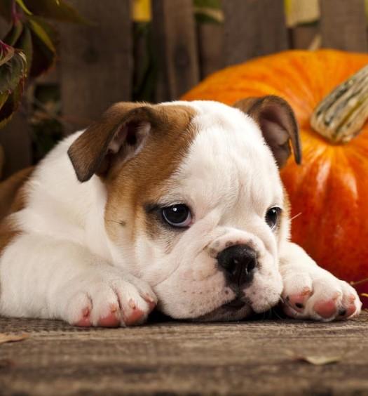 Puppy Dog Loves Pumpkin