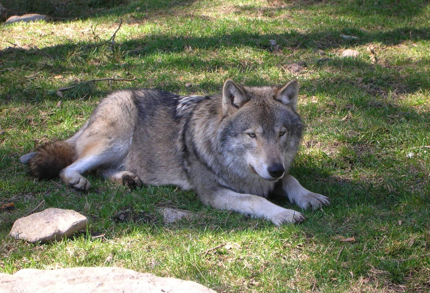 Wolves are Dogs Ancestors