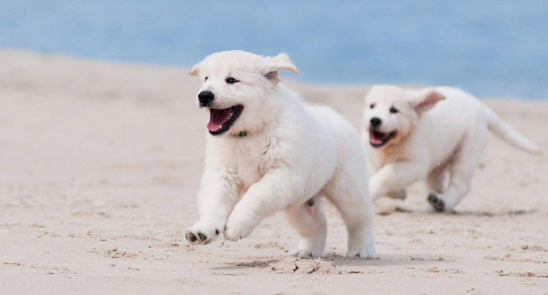 Hyper Puppies Running On The Beach