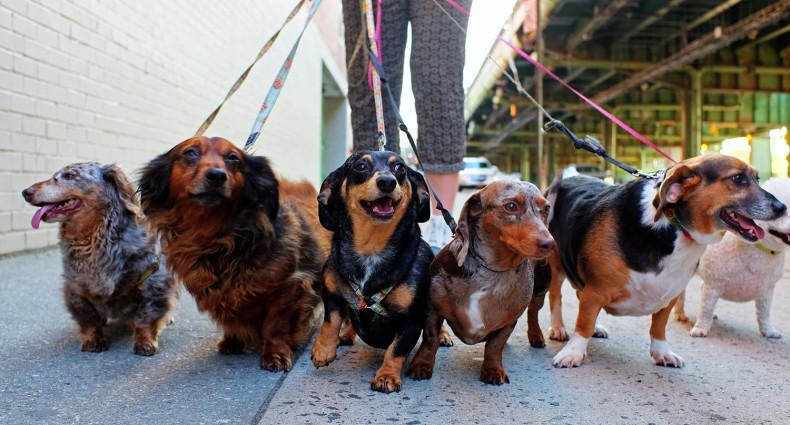 Pack of Dachshunds Going for a Walk