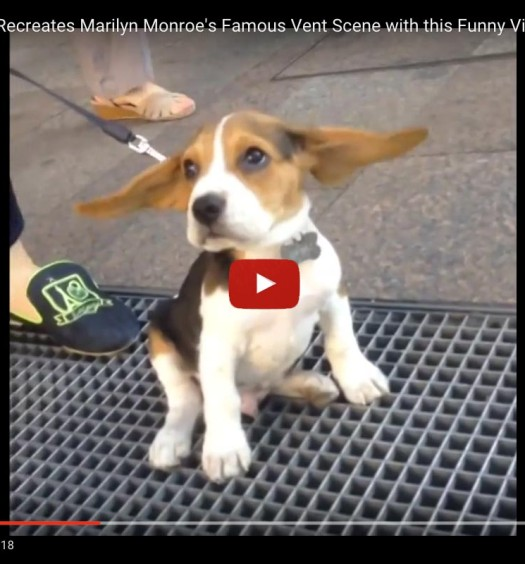 Beagle Puppy Recreates Marilyn Monroe