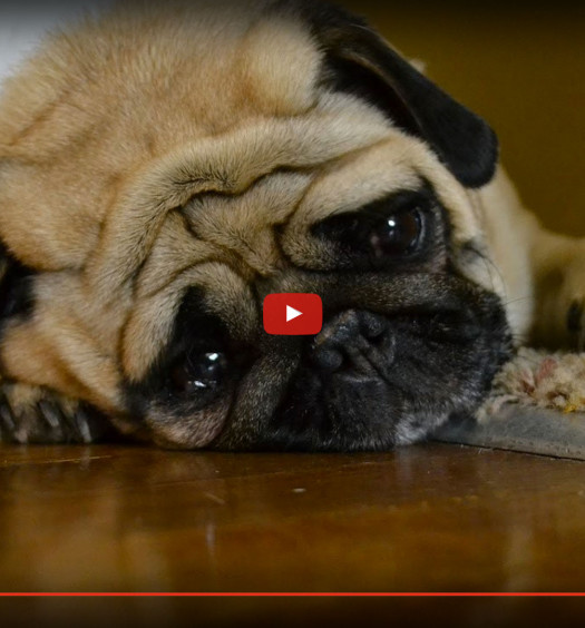 Sad Dog Diaries Pug