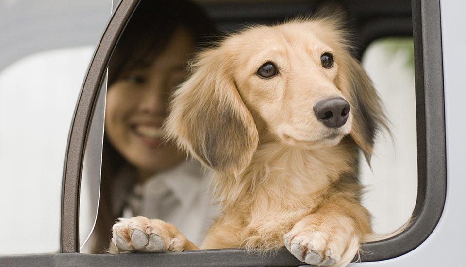 Dachshund in Car Window