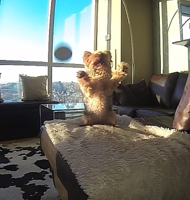 Click here to see Pawstruck's Favorite Viral Video Series and watch as a Yorkie fails at fetch in slow motion!