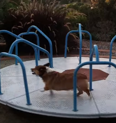 Click here to see Pawstruck's Favorite Viral Video Series and watch as Meatball the Corgi happily runs around his carousel!