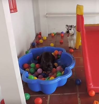 Click here to see Pawstruck's Favorite Viral Video Series and watch as a French Bulldog sees a ball pit for the first time!