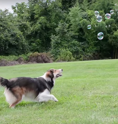 Click here to see a Pawstruck.com viral video of Marley the Dog adorably chasing bubbles!