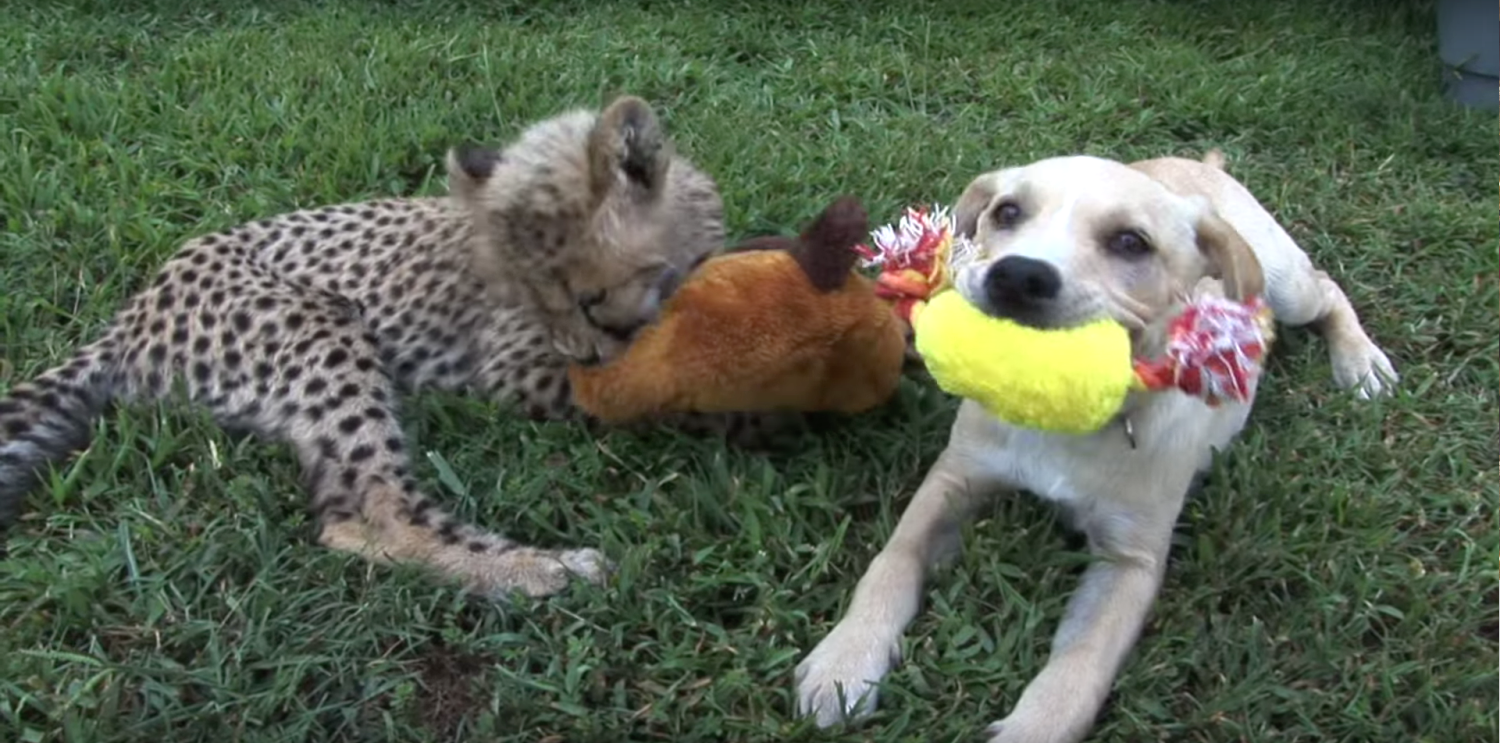 Click here to see a Pawstruck favorite video of an adorable cheetah cub and puppy friendship.