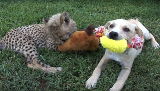 Unlikely Cheetah Cub And Puppy Friends Video