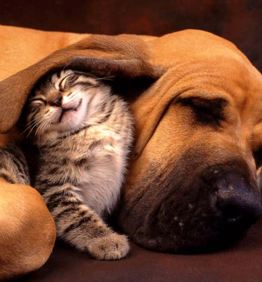 Click here to learn more about how to help cats and dogs get along!
