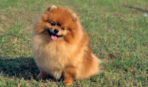 Pomeranians - dog breeds a to z