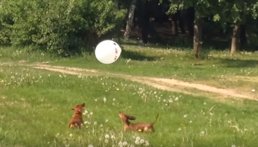 Video: Dachshunds Playing With Balloons