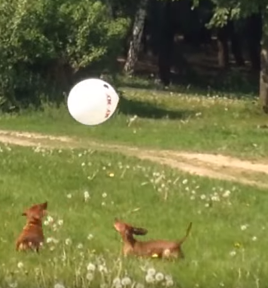 Click here to see Dachshunds playing with a ballon in the park!