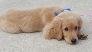 Rusty the Golden Retriever Puppy