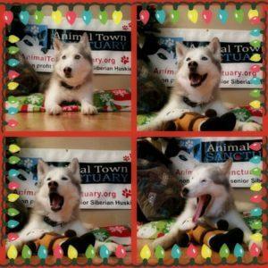 Cookie the Husky at Christmas