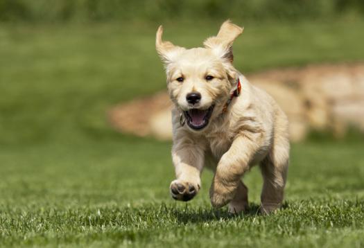 Golden Retriever cutest puppy