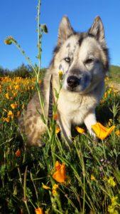 Pistachio the Husky