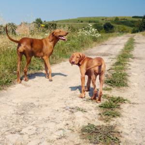 Dog breeds of the world - Vizslas
