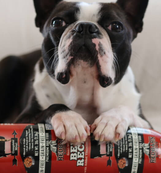 Boston Terrier with Redbarn Rolled Food