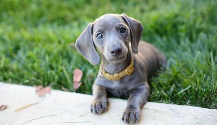 dachshund and waimaraner mix