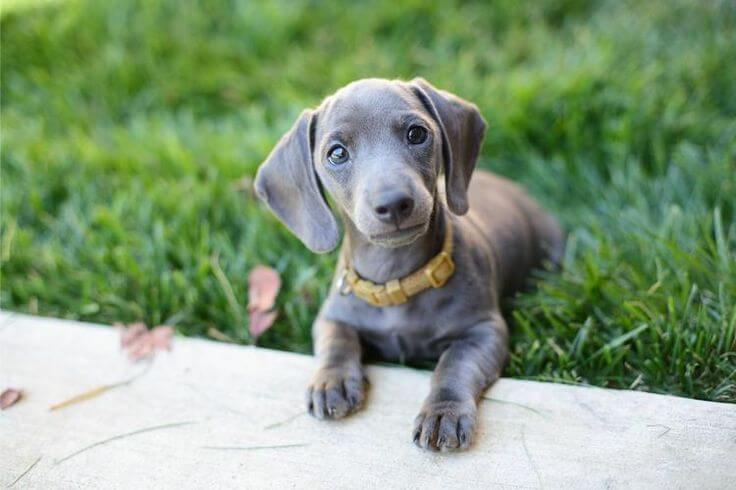 dachshund and waimaraner mix