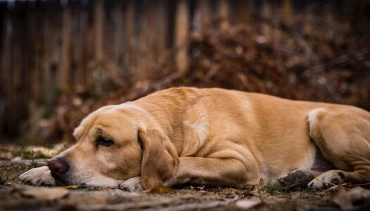 5 Signs of Puppy Hip Dysplasia and How to Effectively Manage The Disease