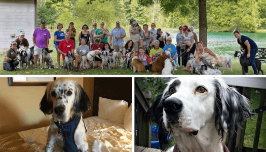 Rescue Spotlight: Our English Setter Rescue