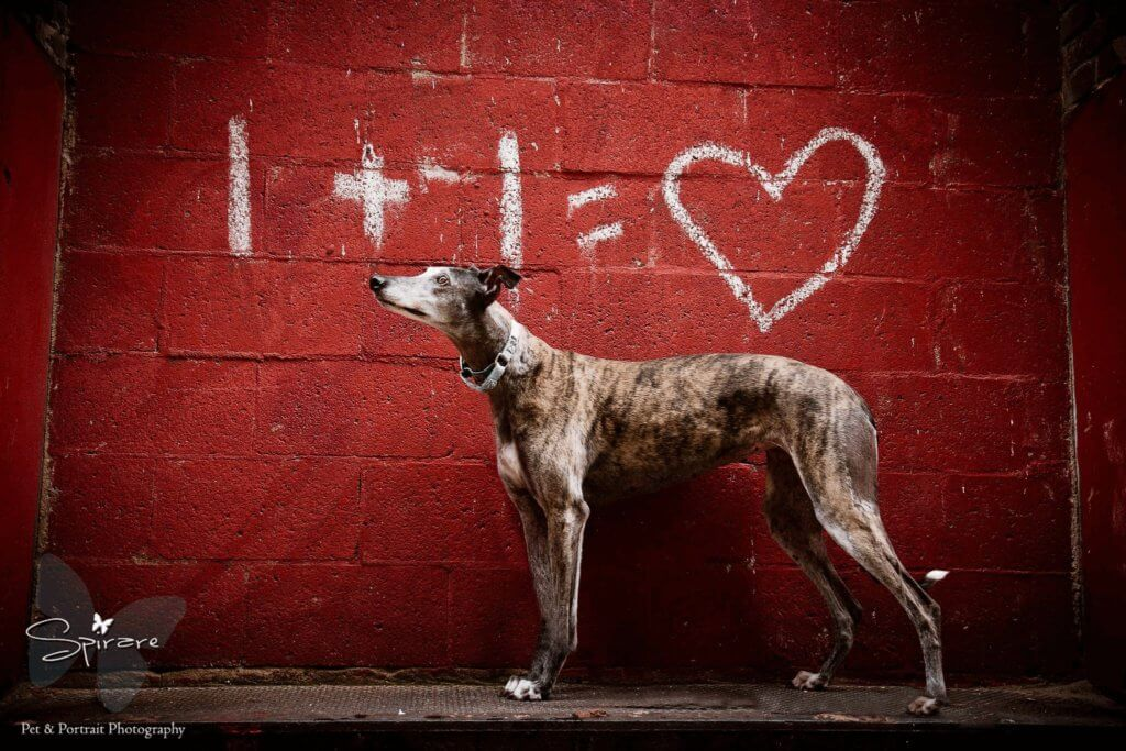 Kansas City Retired Greyhounds As Pets Rescue Spotlight Program