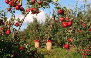 toxic plants for dogs image of apple trees in an orchard