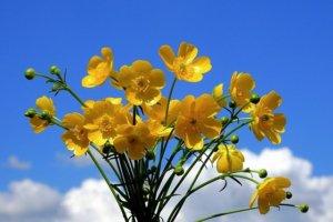 bouquet of buttercup against sky backdrop