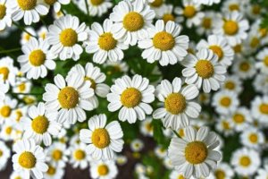 clusters of chamomile