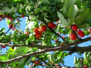 Close up of Cherry Fruit Tree