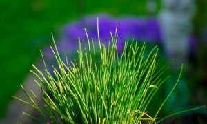 Poisonous plants for dogs pictures of chives