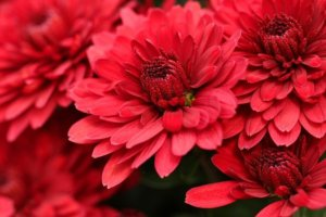 Close up of red chrysanthemums