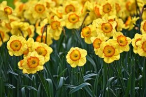 clusters of daffodils growing together in a field