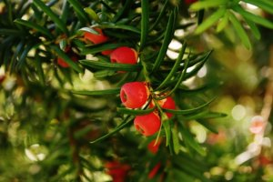 toxic plants for dogs close up of yew fruits and leaves