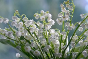 clusters of lily of the valley growing wild