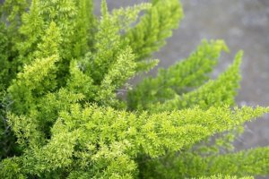 Asparagus fern close up