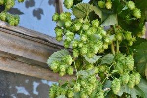 hops vine climbing near window of house