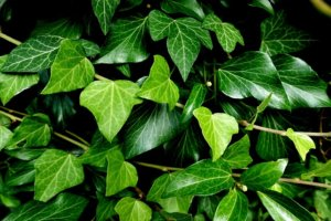 image of ivy leaves