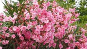 clusters of oleander flowers growing in the wild