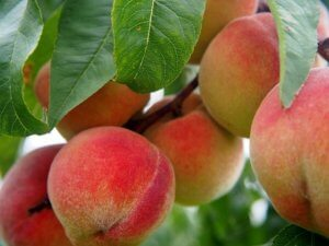 List of Poisonous Plants for Dogs close up image of clusters of peach fruit hanging