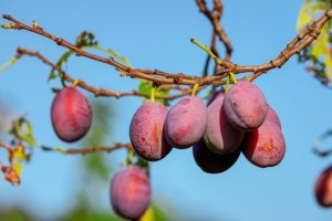 plum fruits hanging from plum tree