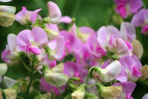 Close up of sweet pea flowers in the wild