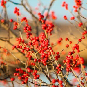 Winterberry Holly shrub with bright red berries on its thin branches
